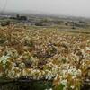 白き花咲く美しき丘にて