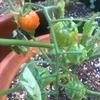 我が家のトマトも、やっと色づき始めた