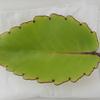 セイロンベンケイソウの葉