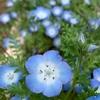 ネモフィラが庭で満開に…育てやすくて楽しめる可愛いお花。