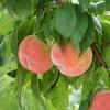 桃,桃,桃!福島の桃を買ってきた,食べてきた!