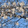 新型コロナウィルス「感染列島」に想う〈番外日記〉⑩3月24日(火)桜咲く…されど〝花に嵐〟もある