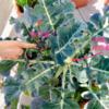 ブロッコリーくんの増し土&追肥
