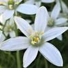 ホソバオオアマナ(細葉大甘菜)の花