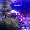 海水アクアリウムの海藻は一気に枯れるので注意