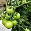 トマトのボックス水耕栽培で収穫量を増やすコツ