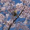 ルミックス FZ-85の、4Kフォトを始めて使ってみる。桜+メジロを撮影!