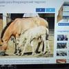 多摩のモウコノウマの仔馬の記事