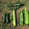 家庭菜園で初めての収穫