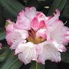 今日の誕生花「シャクナゲ」品種が多いから、花木の王様!