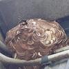 磐田市で軒下に巣を作ったスズメバチを駆除してきました!
