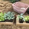 【播種定植】レタス、ブロカリ、ハクサイをやっつけました