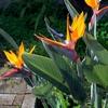 ストレリチアの花 2013 秋