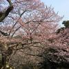 平成最後の世間桜を見に行きました