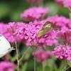モンキチョウ、花の蜜をもとめて飛び交う