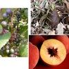 """このブログでは,古事記に記載されている植物として,山葡萄,竹の子,桃,藤,百合,葦,菜/青菜,大根 を取り上げてきましたが,改めて """"植物をたどって古事記を読む""""シリーズを新たに始めることにしました.""""植物をたどって古事記を読む""""(1)"""