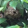 浜松市で庭木にできたスズメバチの巣を駆除してきました