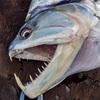 コロンビア釣行記#2〜激流の牙魚〜