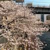 入社式と目黒川の桜
