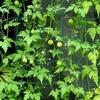 緑のカーテン 風船カズラ 8月