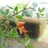 智光山公園 『 4月の花 ハナズオウとムレスズメ 』