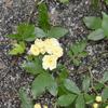 2015/04/18 キモッコウ開花!近所では3分咲きのところもあるのだけど、ようやくウチも開花!!