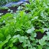 葉ものの収穫が真っ最中!今日はルッコラ鍋で!