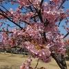 今日、河津桜を観に行った。ちょうど見ごろだった。