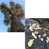 鎌倉八幡宮の大銀杏が倒れてから既に7年.台風のおかげで他の黃葉/紅葉も鎌倉では? 生きた化石・奇跡の樹 イチョウの黃葉を楽しみたくなりましたが--,どこへ? イチョウ(1)
