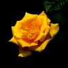 鮮やかな黄色のバラ・インカ