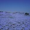 ひたち海浜公園のネモフィラを見に行く。一面青色の大絶景