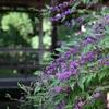 京都の紫式部が咲く名所。