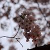 桜を愛でる2011 その2