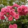 雨に耐えたバラたち