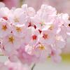 サクラ満開!場所取りいらずの代々木公園にお花見に行ってきた!