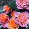 """【庭】Rosa.min """" Santa Lucia Forever """""""