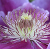 クレマチスの花心