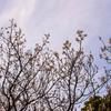 木場公園の早咲きの白梅