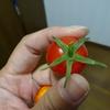 オトンの新たな趣味【水耕栽培】、トマトがべらぼうに美味かった!!!