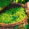 緑茶に含まれるカテキンはダイエットに効果なし