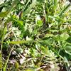 多摩川で七草摘み、東急沿線なら十九草を摘めるはず