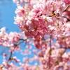 【鋸南町】頼朝桜の里 南房総でいちばんの桜の名所佐久間ダム湖親水公園