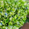 【写真】白緑の紫陽花
