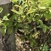 例年とは異なるタイミングで内製しているボカシ肥が例年にない様子となっている