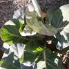 庭のキャベツ 記憶力を維持するガム