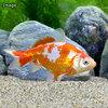 (国産金魚)更紗和金(サラサワキン) 三つ尾〜四つ尾 木下氏作出 7〜9cm(1匹)