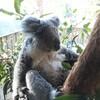 koala@(・●・)@