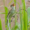 🐦野鳥の回【80】🆕57種類目 オオヨシキリは口の中赤いねん(&キハ120)