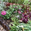 花壇に花を植えました(秋の花壇)