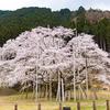 【岐阜】樹齢1500余年 孤高の淡墨桜(本巣市 根尾谷)